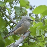 Chestnut-tailed Starling