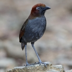 Chestnut-naped Antpitta