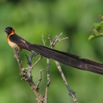 Broad-tailed Paradise Whydah