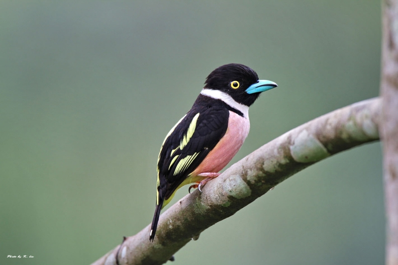 Black-and-yellow Broadbill