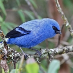 Blue-and-black Tanager