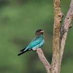 Broad-billed Roller