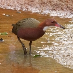 White-throated Rail