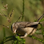 Streaky-headed Seedeater