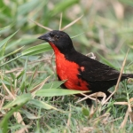 Red-breasted Blackbird