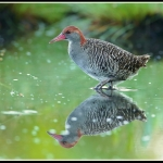 Slaty-breasted Rail