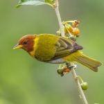 Rufous-headed Tanager