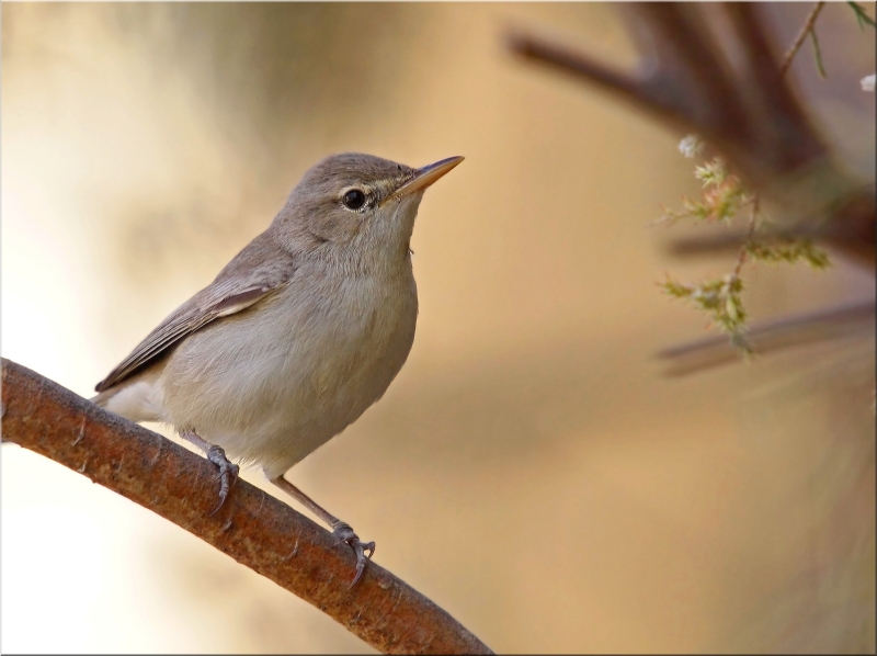 Upcher's Warbler