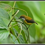 Yellow-sided Flowerpecker