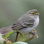 Golden-faced Tyrannulet