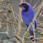 Black-collared Jay