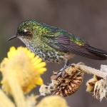 Purple-backed Thornbill