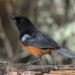 Chestnut-bellied Flowerpiercer