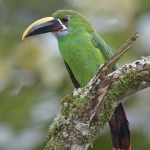 White-throated Toucanet