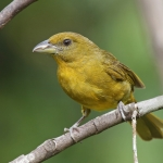Tooth-billed Tanager