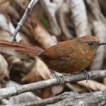 Rufous Spinetail