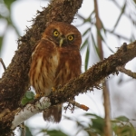 Andean Pygmy Owl