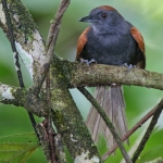 Slaty Spinetail
