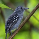 Black-crowned Antshrike