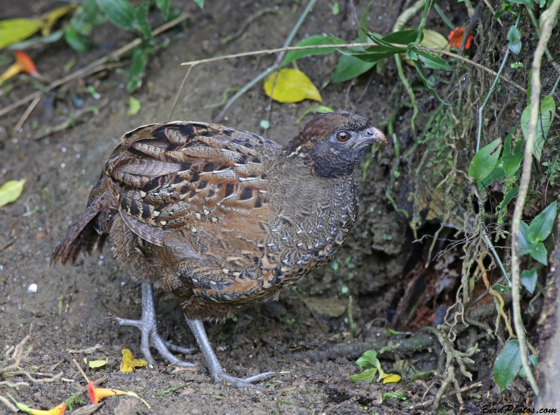 Black-fronted Wood Quail