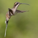 Pale-bellied Hermit