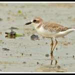 Greater Sand Plover