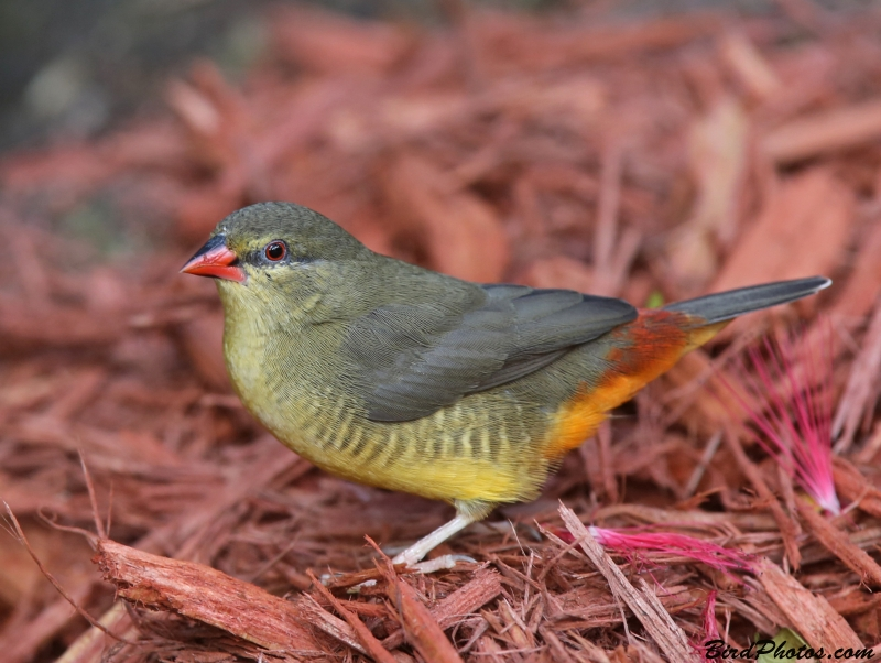 Orange-breasted Waxbill