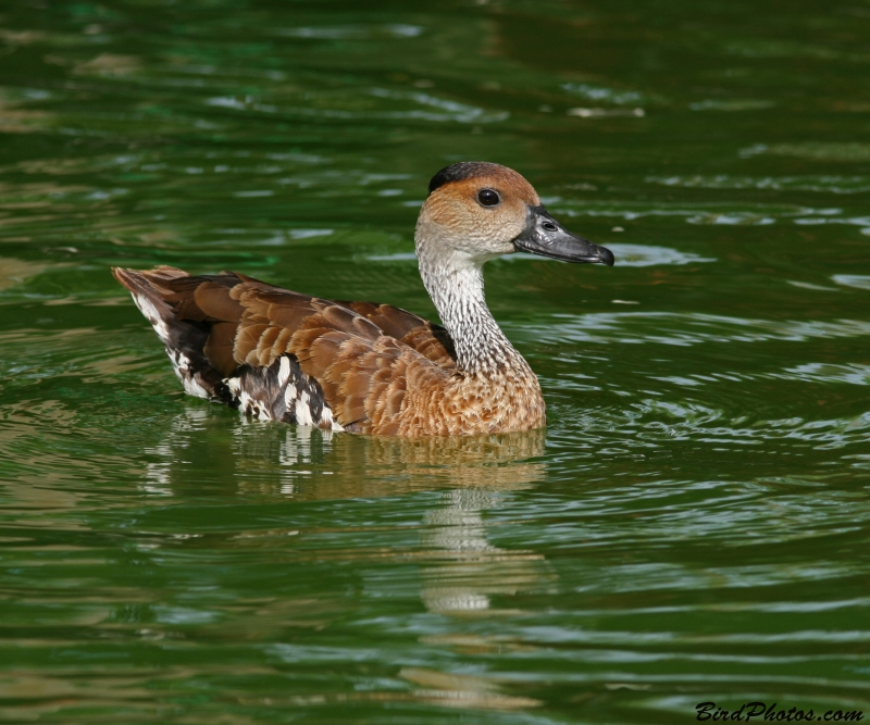 Spotted Whistling Duck