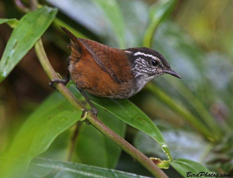 Grey-breasted Wood Wren
