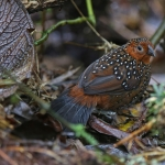 Ocellated Tapaculo