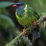 Green-and-black Fruiteater