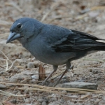 Tenerife Blue Chaffinch