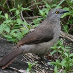 Brown Babbler