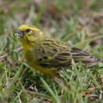 White-bellied Canary