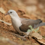 Mountain Imperial Pigeon