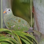 Black-chinned Fruit Dove