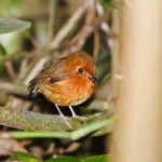 Rusty-breasted Antpitta