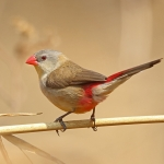 Fawn-breasted Waxbill