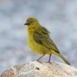 Holub's Golden Weaver