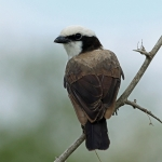 Northern White-crowned Shrike