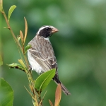 Black-eared Seedeater