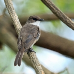 Swamp Flycatcher