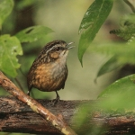 Mountain Wren-Babbler