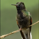 Black-bellied Hummingbird