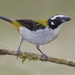 Black-winged Saltator