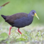 Blackish Rail