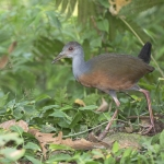 Grey-cowled Wood Rail