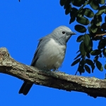 White-breasted Cuckooshrike