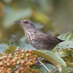 Thrush-like Wren