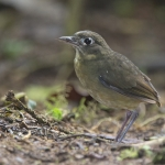 Plain-backed Antpitta